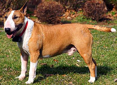 perros-razas-bull-terrier-02