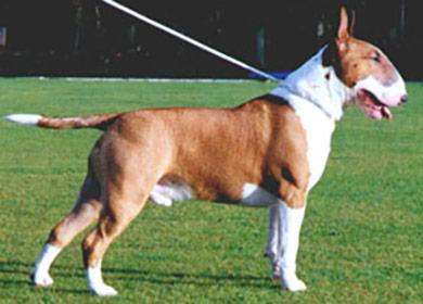 perros-razas-bull-terrier-03