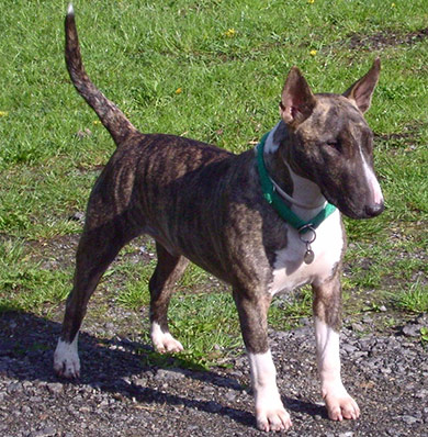 perros-razas-bull-terrier-04