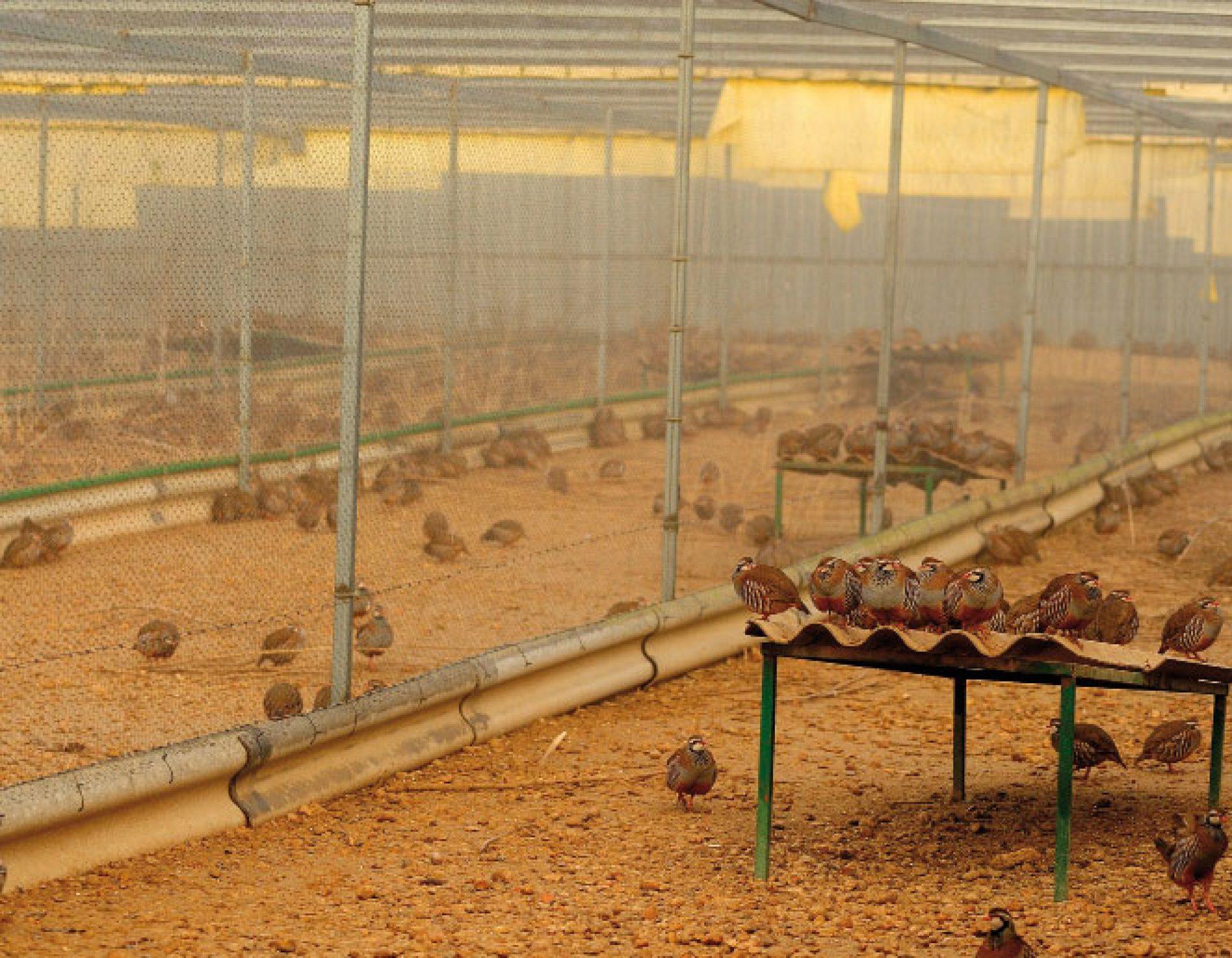 Ventajas e inconvenientes de la caza con perdiz de granja