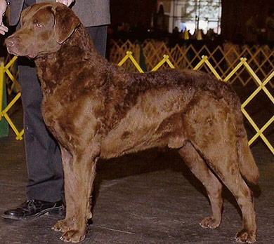 perros-razas-chesapeake-bay-retriever-02