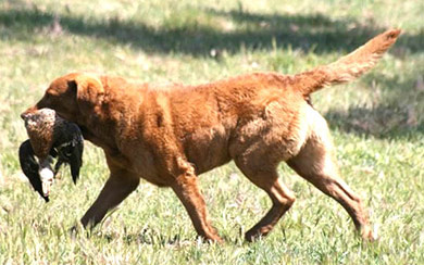 perros-razas-chesapeake-bay-retriever-04