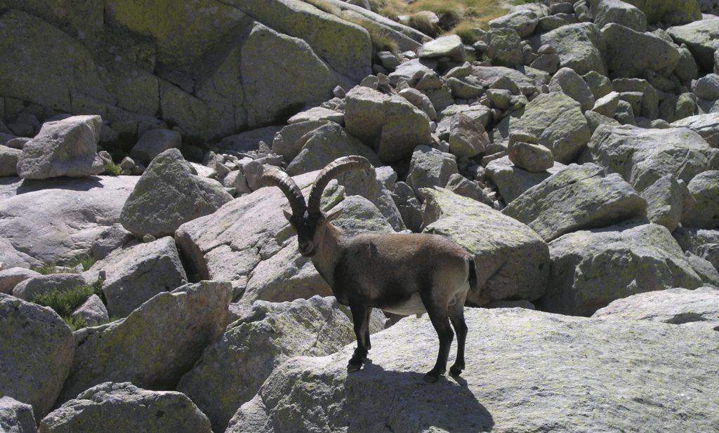 Cotos-de-caza-reportajes-cazar-en-parques-naturales-cabra-en-gredos-02