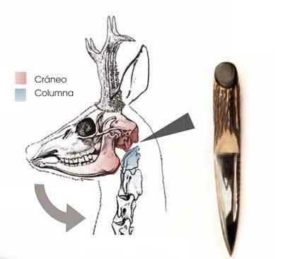 Eviscerado-corzo-1