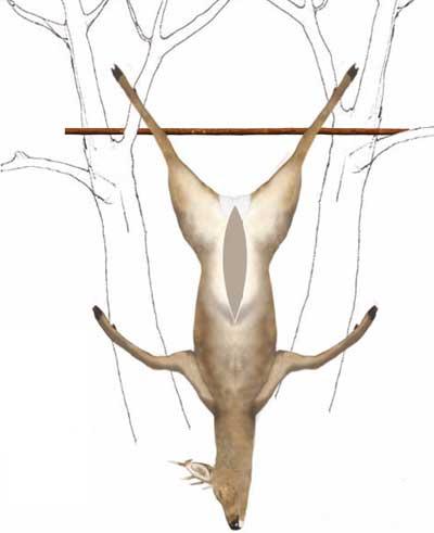 Eviscerado-corzo-colgado