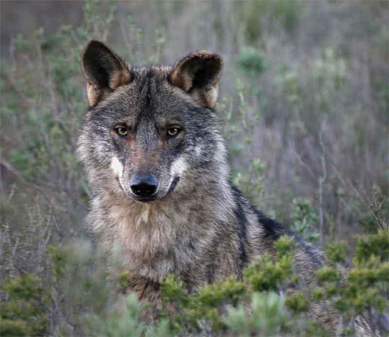 lobo-principal