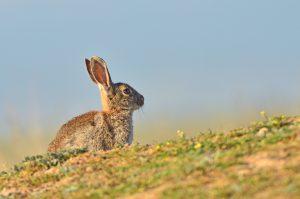 caza-menor-reportajes-nacional-planes-contra-los-daños-de-los-conejos-a-la- agricultura-conejo0250