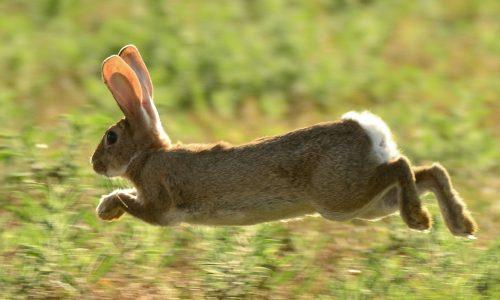 Planes contra los daños de los conejos a la agricultura
