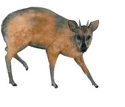 corzuela-pigmea