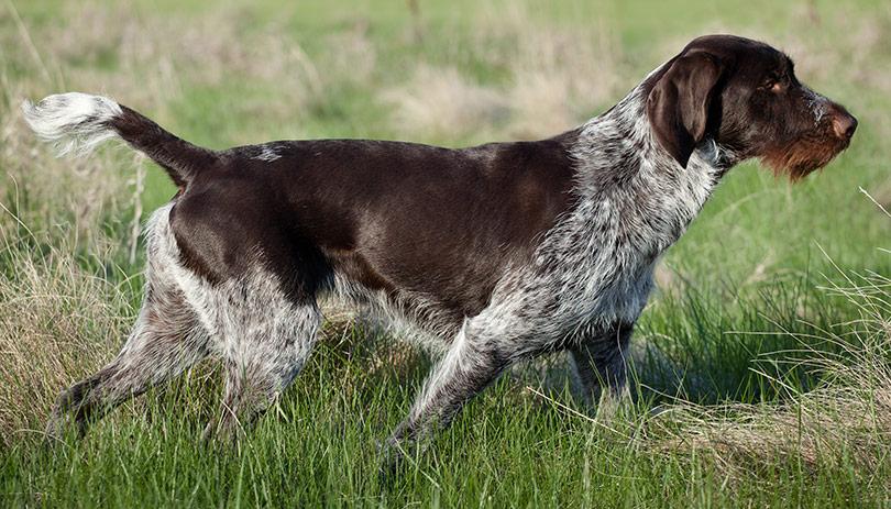 Ficha Y Características De Las Razas De Perros Para La Caza