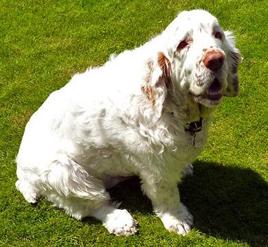 perros-razas-clumber-spaniel-03