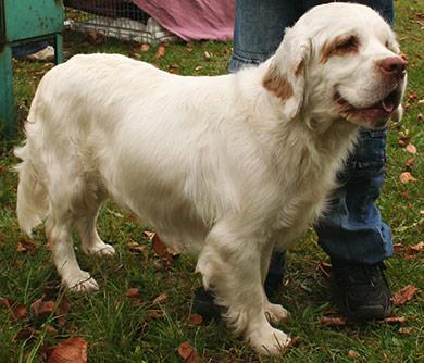 perros-razas-clumber-spaniel-04