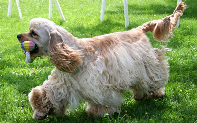 perros-razas-cocker-spaniel-americano-01