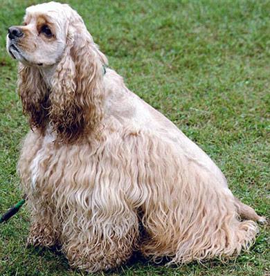 perros-razas-cocker-spaniel-americano-02