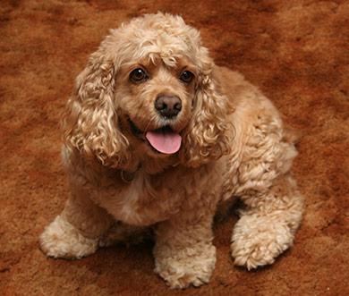perros-razas-cocker-spaniel-americano-03