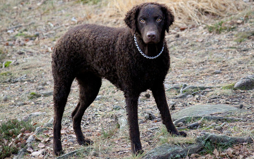 perros-razas-curly-coated-retriever-01
