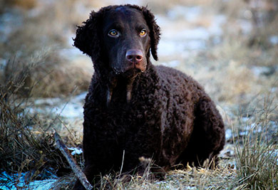 perros-razas-curly-coated-retriever-03