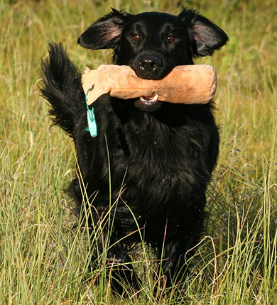 perros-razas-flat-coated-retriever-02