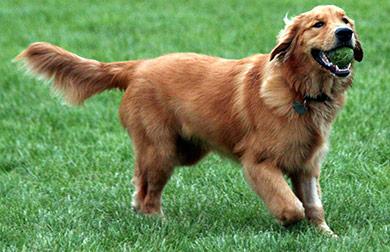 perros-razas-golden-retriever-02