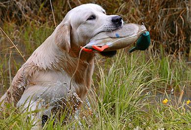 perros-razas-golden-retriever-03