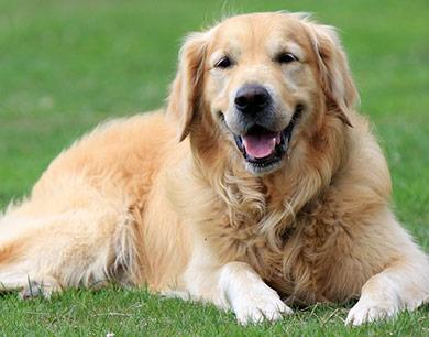 perros-razas-golden-retriever-04