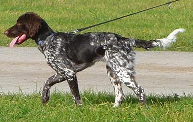 perros-razas-pequeno-munsterlander-02