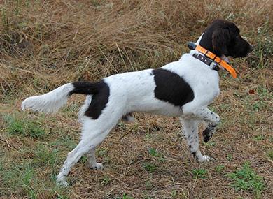 perros-razas-pequeno-munsterlander-03