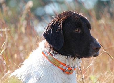 perros-razas-pequeno-munsterlander-04