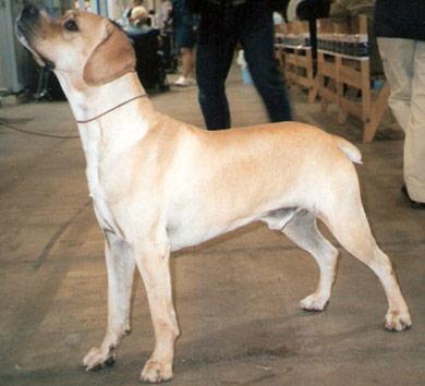 perros-razas-perdiguero-portugues-02