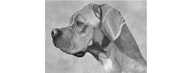 perros-razas-perdiguero-portugues-01