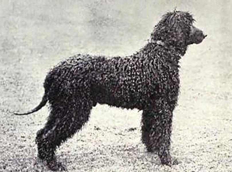 Perro de Agua Irlandes