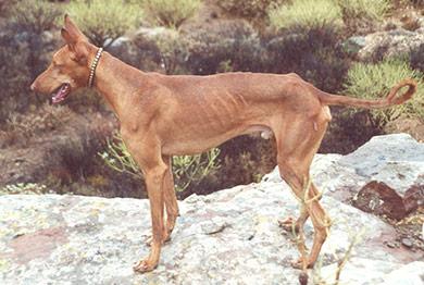 perros-razas-podenco-canario_03