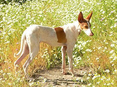 perros-razas-podenco-canario_04