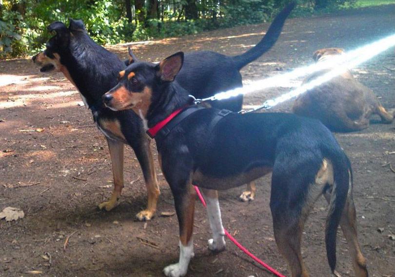 perros-razas-ratonero-valenciano-01