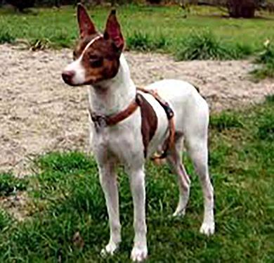 perros-razas-ratonero-valenciano-02