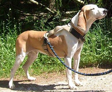perros-razas-sabueso_espanol-02