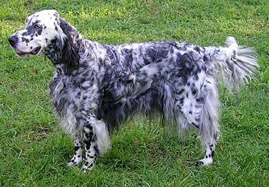 perros-razas-setter-ingles-03