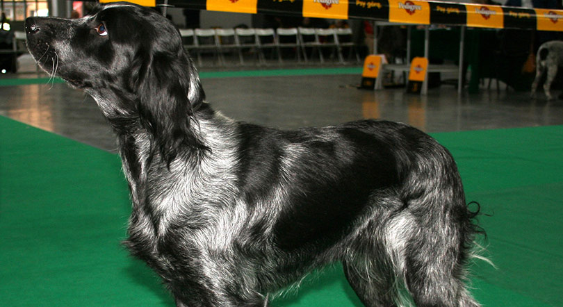 perros-razas-spaniel-azul-picardia-01