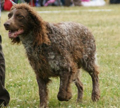 perros-razas-spaniel-pont-audemer-04