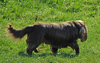 perros-razas-sussex-spaniel-04