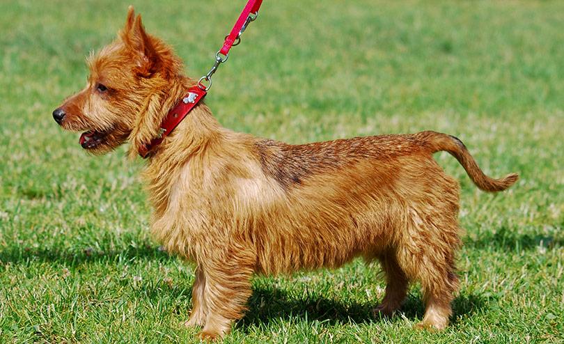 perros-razas-terrier-australiano-01