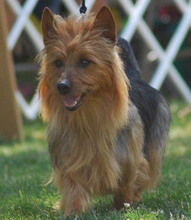 perros-razas-terrier-australiano-02