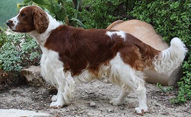 perros-razas-welsh-wpringer-spaniel-02