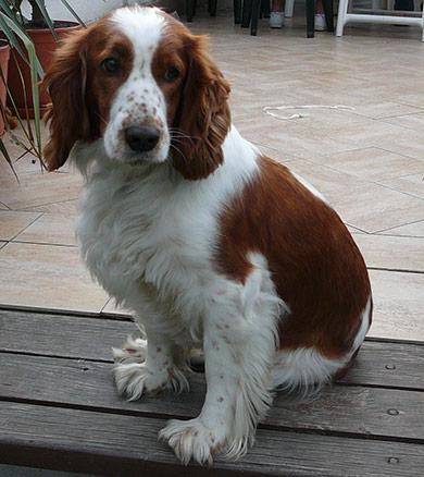 perros-razas-welsh-wpringer-spaniel-03
