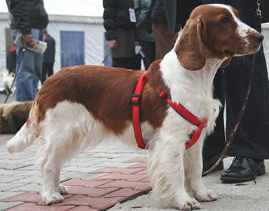perros-razas-welsh-wpringer-spaniel-04