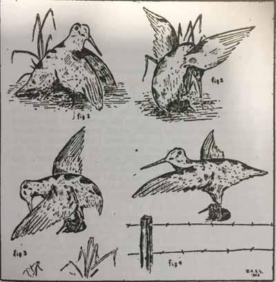 secretos-de-becada-pollos-ilustracion