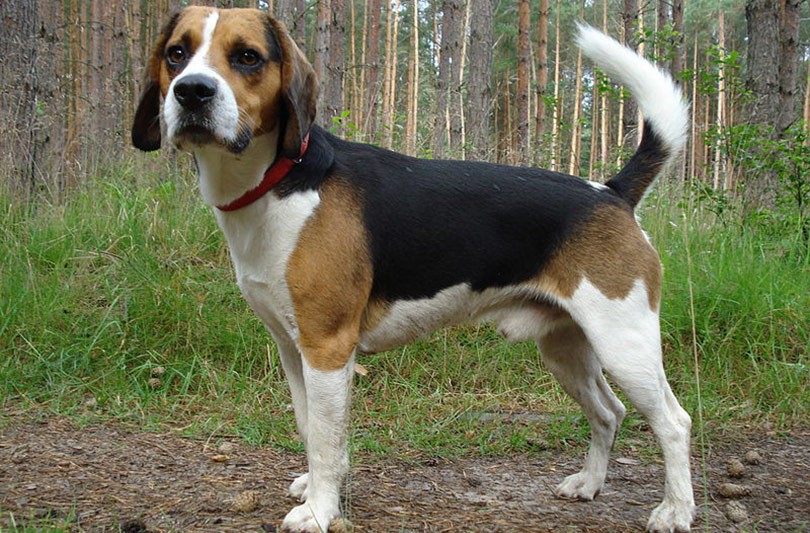 perros-razas-beagle-harrier-01
