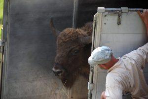 Caza-Mayor-reportajes-internacional-reintroduccion-del-bisonte-europeo-04