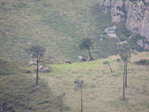 Caza-Mayor-reportajes-internacional-reintroduccion-del-bisonte-europeo-en-la-Península-Asturias