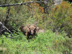 Caza-Mayor-reportajes-internacional-reintroduccion-del-bisonte-europeo-en-la-Península-Asturias1